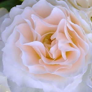 Rose Shop Online - bed and borders rose - floribunda - white - Sweet Blondie - no fragrance - Martin Vissers - -