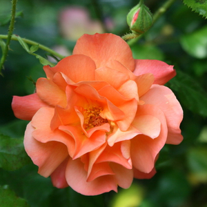 Rosa Westerland® - orange - buissons