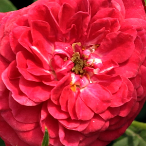 Buy Roses Online - Red - climber rose - discrete fragrance - Kisses of Fire - Christopher H. Warner - This modern climer is ideal for decorating vertical surfaces, but it can also be used as a ground cover.