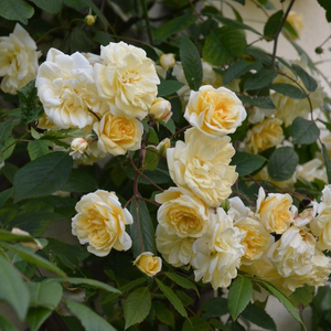 Auscanary - yellow - climber rose