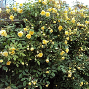 Yellow - climber rose