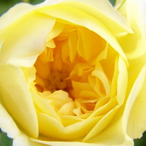 Buy Roses Online - Yellow - climber rose - discrete fragrance - Auscanary - David Austin - -