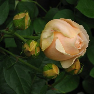 Ausjo - yellow - english rose