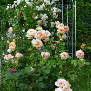Apricot-yellow - english rose