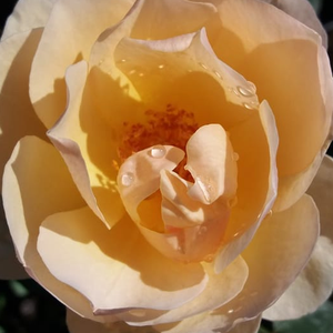 Buy Roses Online - Yellow - english rose - intensive fragrance - Ausjo - David Austin - -