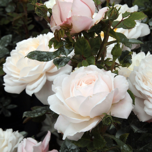 White - english rose