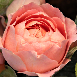Rosa Amandine Chanel - rose - rosier nostalgique