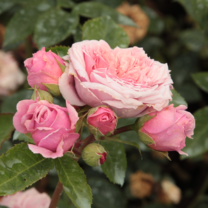 Rosa William Christie - rose - rosier nostalgique