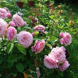 Rose - rosier nostalgique