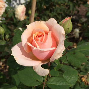 Rosa Paul Bocuse - rose - rosier nostalgique