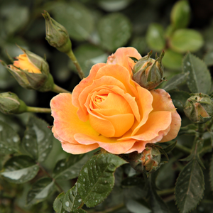 Bessy - orange - ground cover rose