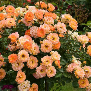 Orange - ground cover rose