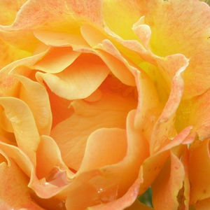Order Roses Online - Bessy - ground cover rose - orange - - - Interplant - -