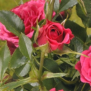 Limesfeuer - pink - ground cover rose