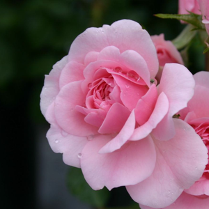Sommerwind® - pink - ground cover rose