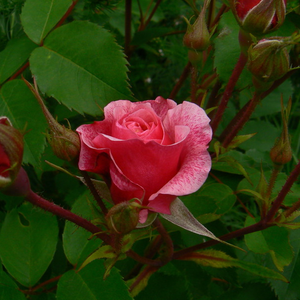 Rosa Morden Ruby - rose - rosier nostalgique