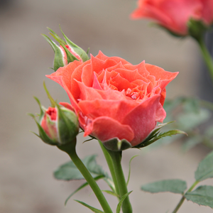 Rosa Miami - orange - rosiers miniatures