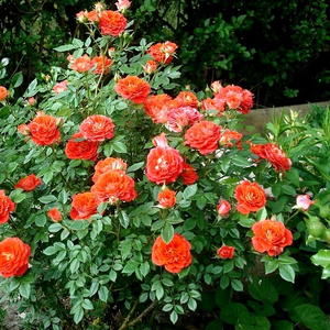 Orange - miniature rose