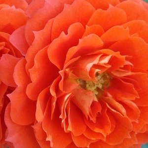 Rosier achat en ligne - Orange - rosiers miniatures - - - Rosa Miami - Michel Adam - -