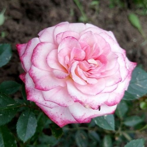Miniature Rose Pink Online