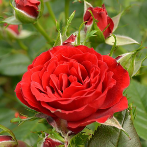 Roma - red - miniature rose