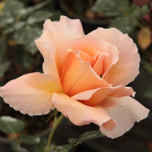 Just Joey - orange - hybrid Tea