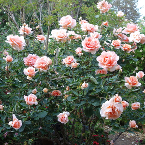 Orange-brown - hybrid Tea