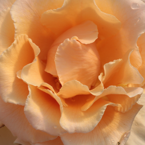 Rose Sales Online - Just Joey - orange - hybrid Tea - intensive fragrance - - - -