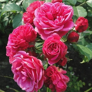 Rosa scuro - Rose Arbustive