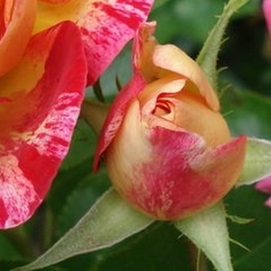 Camille Pissarro - yellow - red - bed and borders rose - floribunda