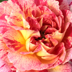 Rose Shop Online - bed and borders rose - floribunda - yellow - red - Camille Pissarro - discrete fragrance - Georges Delbard - -