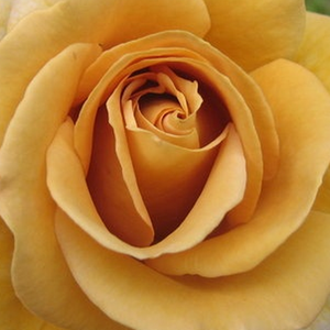 Roses Online Delivery - Yellow - bed and borders rose - grandiflora - floribunda - moderately intensive fragrance -  Honey Dijon - James A. Sproul - -