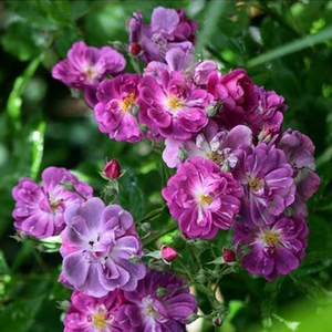 Purple Skyliner - porpora - Rose Climber