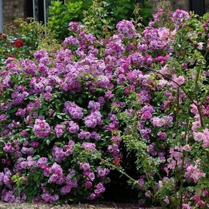 Purple - climber rose