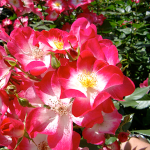 White - red - park rose
