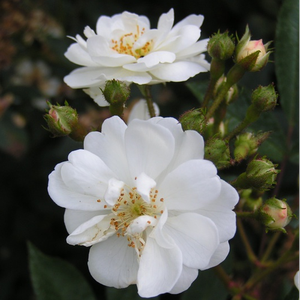 Guirlande d'Amour® - white - park rose