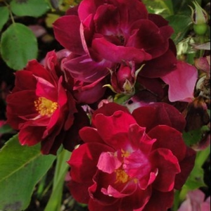 Purple - red - park rose