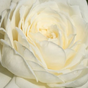 Height: 6,6 ft - Number of petals: 26-40