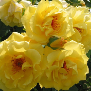 Golden yellow - climber rose