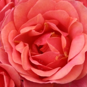 Online Rose Nursery‎ - Mandarin ® - red - miniature rose - no fragrance - W. Kordes & Sons - -