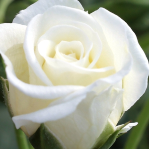 Rose Sales Online - Schneeküsschen ® - white - miniature rose - no fragrance - W. Kordes & Sons - -