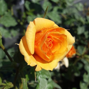 Rosa Bentheimer Gold ® - orange - floribundarosen
