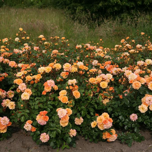 Orange - bed and borders rose - floribunda