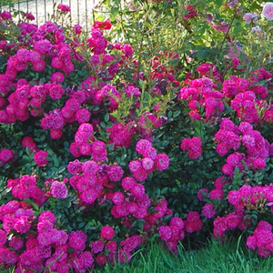 Purple - ground cover rose