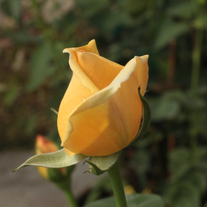 Valencia ® - yellow - hybrid Tea