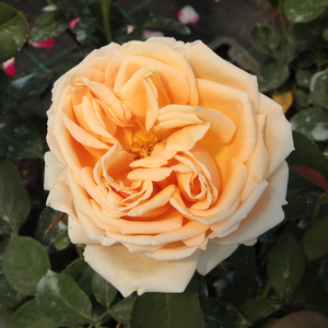 Rose Shopping Online - Yellow - hybrid Tea - intensive fragrance - Valencia ® - W. Kordes & Sons - -