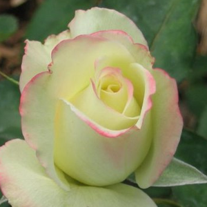Athena® - yellow - pink - hybrid Tea