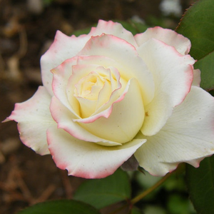 Yellow - pink - hybrid Tea