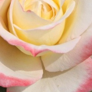 Buy Roses Online - Yellow - Pink - hybrid Tea - intensive fragrance - Athena® - W. Kordes & Sons - -