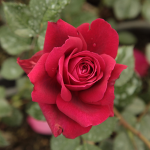 Bellevue ® - red - hybrid Tea